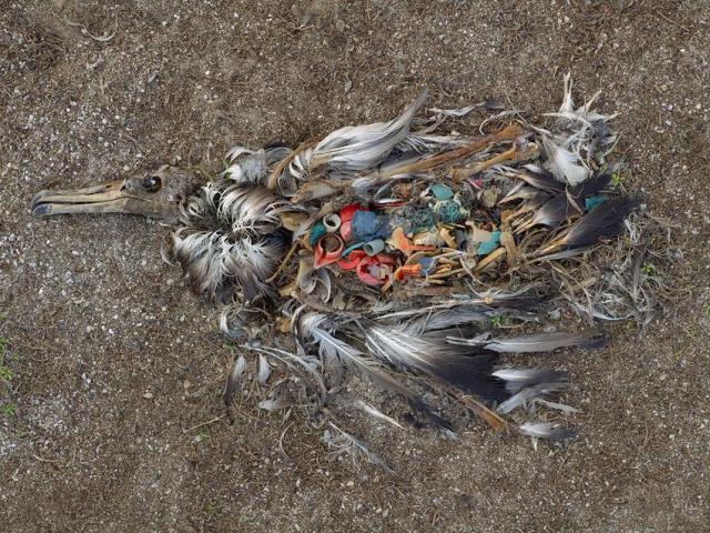 Albatros de Laysan con residuos plásticos en su interior