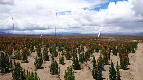 Sembradíos de quinua en Oruro. Foto: La Razón