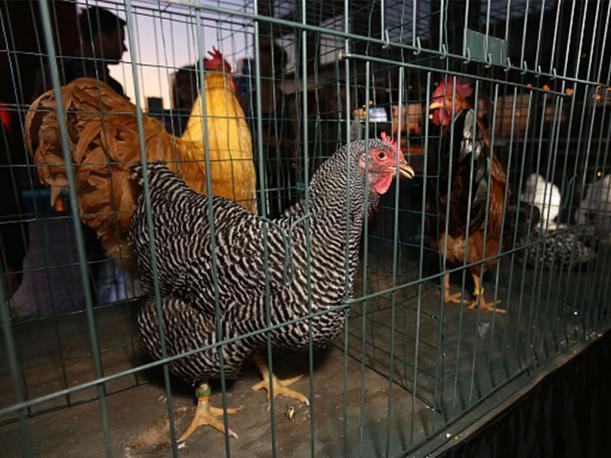 Olor de pollos repele a mosquito que transmite malaria en África