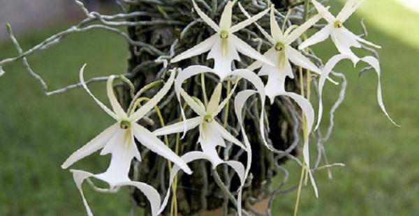 La orquídea fantasma está en peligro de extinción