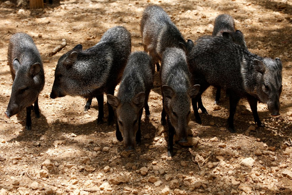 Marlene Sifontes, representande de Inparques, ha añadido que se ha registrado la muerte de cerdos vietnamitas, tapires, conejos, aves y pecaríes, entre otros.