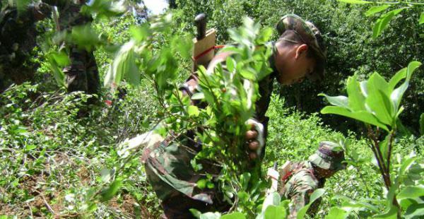 La Unodc y EEUU publican cifras distintas sobre el tamaño de las hectáreas de coca en el país