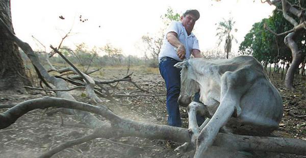 El ganadero Boehme trata de levantar a una vaca que se halla en su propiedad San Pablo