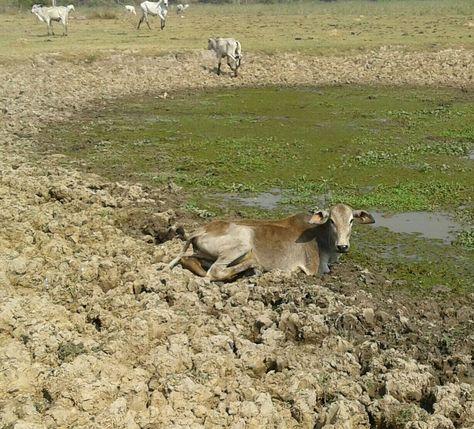 La sequía afecta al ganado en el Beni. Foto: Fegabeni