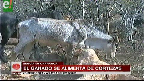 El ganado en Charagua muere por falta de alimento y agua
