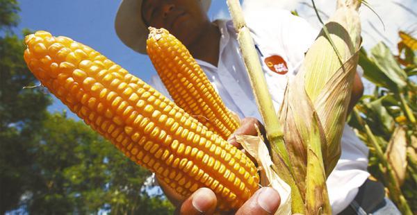 Cada año el sector demanda 600.000 toneladas del grano
