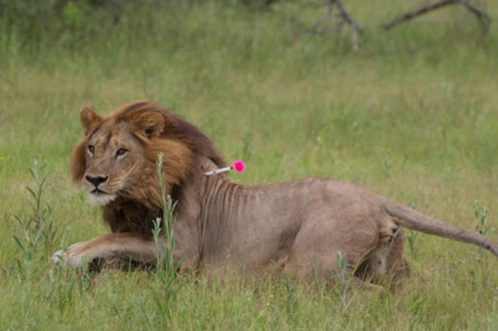Una de las leonas con melena de león estudiadas en Botsuana, durante su captura.
