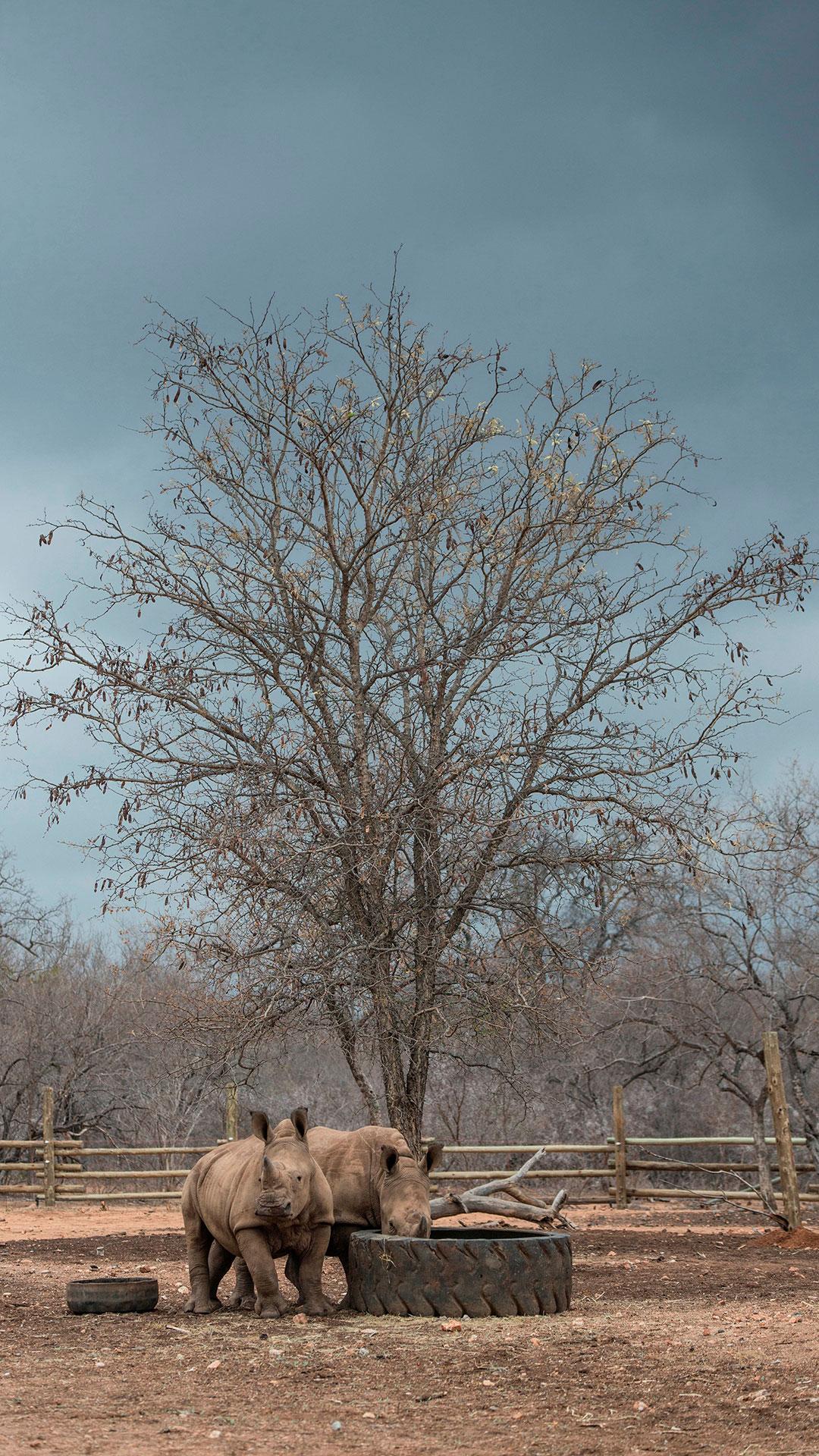 Sudáfrica es uno de los países más afectados a nivel mundial por la caza furtiva de rinocerontes (AFP)