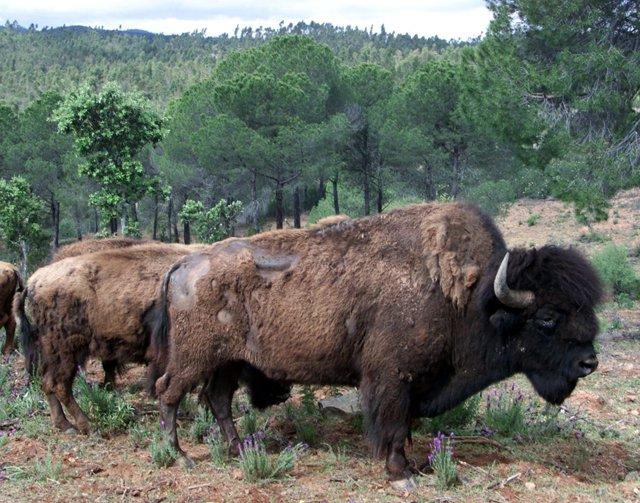 Descubren los orígenes del bisonte europeo a través de ADN y arte rupestre