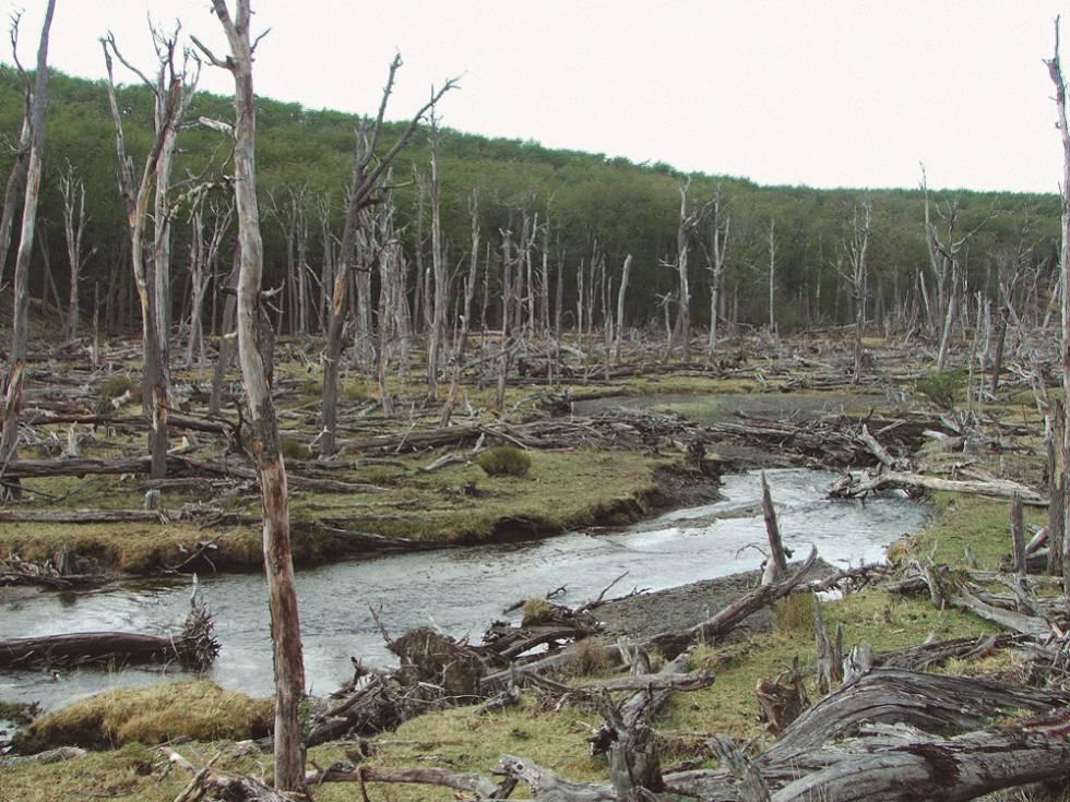 Bosque fueguino destrozado por castores.