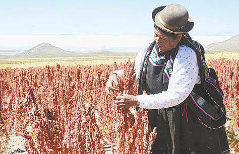 Una productora de quinua real en labores de cosecha en el municipio de Uyuni, departamento de Potosí