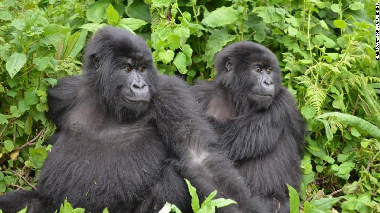 Los gorilas hacen parte de los primates que hoy están en riesgo de extinción.