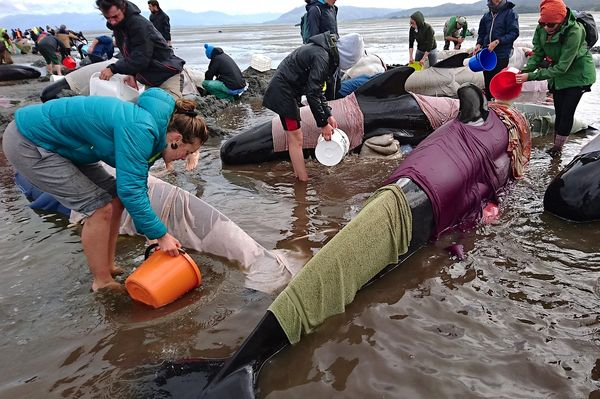 Voluntarios intentan salvar a las ballenas (Reuters)