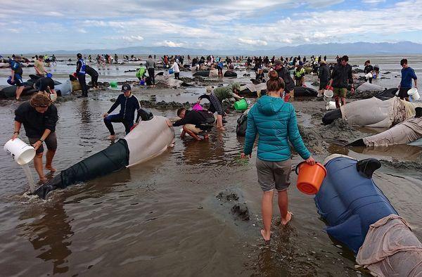 Cientos de personas intentaron salvar a las ballena (Reuters)