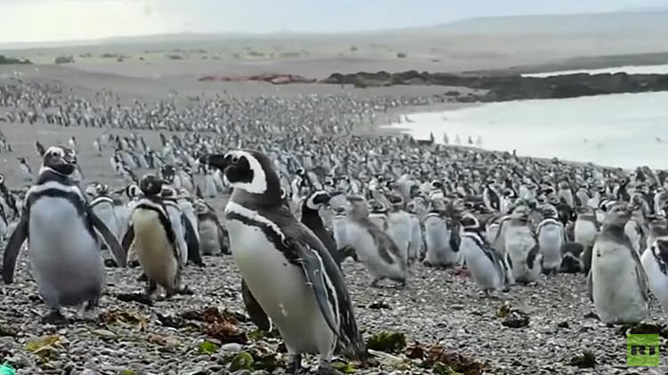 VIDEO: Más de un millón de pingüinos inundan las costas argentinas en un  'viaje de placer'