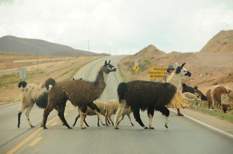 Un grupo de llamas y ovejas cruzan por una carretera. Foto: Pedro Laguna - archivo