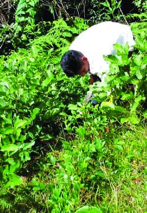 Oposición propone un referendo para definir aumento de los cultivos de coca