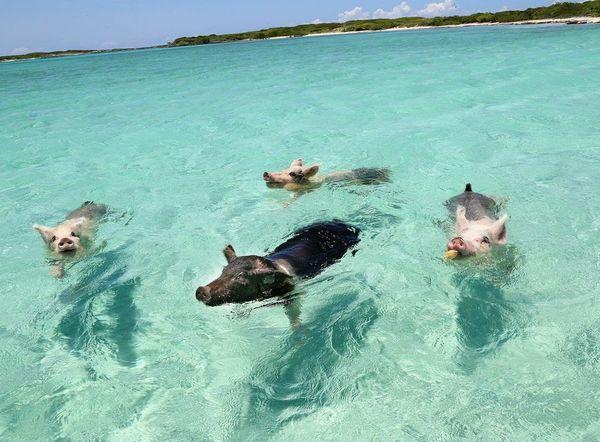 Aunque la isla deshabitada se llame Cayo Big Mayor, popularmente es conocida como la 'Isla de los Cerdos' por la presencia de estos