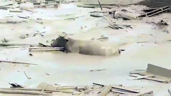 El alud también arrastró a al menos cinco vacas y tres cerdos de los criaderos ubicados en Punta Hermosa