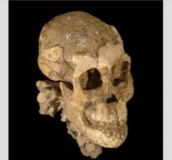 El cráneo de Selam según lo recrearonlos investigadores (Foto: cortesía de la Universidad de Chicago)