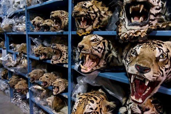 Cabezas de tigre confiscadas provenientes de criaderos ilegales. Foto de Kate Brooks para National Geographic