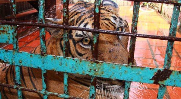 Un tigre tras las rejas, espera un final incierto en una granja de Laos