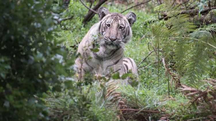 El tigre pálido fue encontrado en la Reserva Nilgiri Biosphere, en la India (Nilanjan Ray)