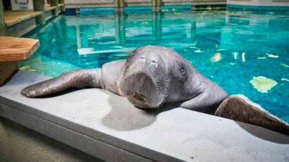 Muere el manatí más longevo del mundo, dos días después de cumplir 69 años