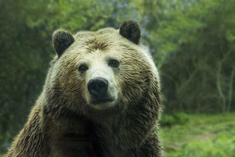 """El secretario del Interior Ryan Zinke dijo que la recuperación de los grizzlies es """"uno de los grandes éxitos de Estados Unidos en materia de conservación, y supone la culminación de décadas de duro trabajo"""" (Pixabay)"""