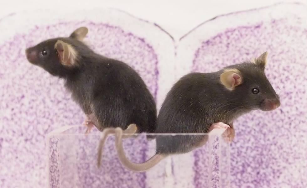 Un pequeño grupo de neuronas convierte a los ratones en seres violentos.