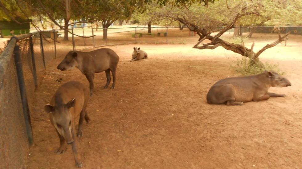 Tapires en el del zoo de Zulia.