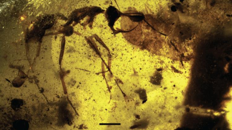 Una 'hormiga del infierno' encontrada en Birmania desconcierta a los científicos