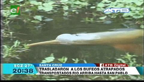 Siete bufeos perdidos fueron rescatados y devueltos a su hábitat en el Río San Pablo
