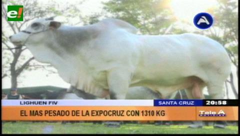 Lighuen, es el toro más pesado de Expocruz 2017