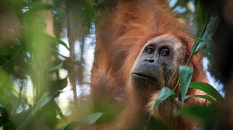 El Tapanuli orangután es una especia compuesta por apenas 800 ejemplares (EFE)