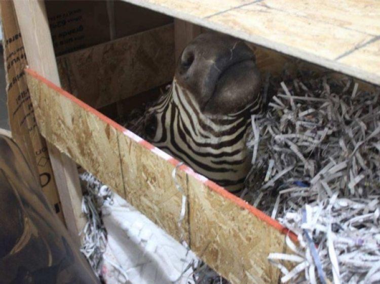 Uno de los animales muertos secuestrados en el rancho de la secta