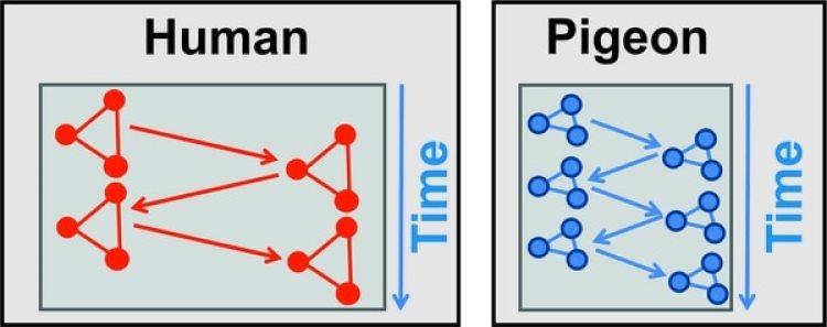 Como la densidad neuronal del cerebro de las palomas (azul) es mayor que la del cerebro humano (roja), la información se mueve más rápidamente. (R-UB)