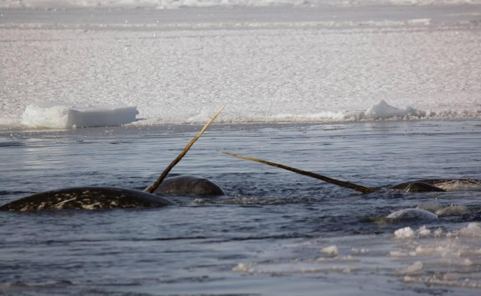 Los narvales macho desarrollan un apéndice que les ha valido el sobrenombre de unicornios del mar.