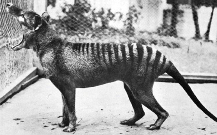 Del legendario marsupial sólo hay imágenes en blanco y negro. A pesar de los rumores de avistamiento, no existen datos reales de que haya ejemplares vivos
