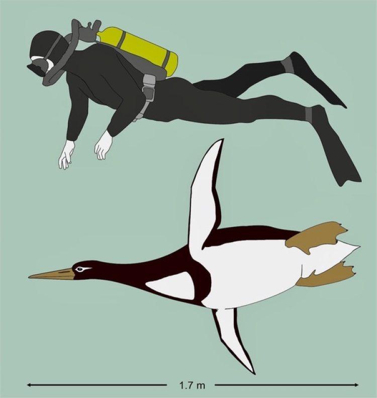 El pingüino gigante Kumimanu biceae era tan alto como un hombre promedio. Crédito: G. Mayr/Senckenberg Research Institute
