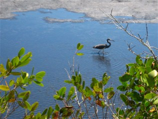 A tricolored heron in the MINWR.