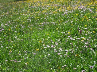 Carpets of wildflowers