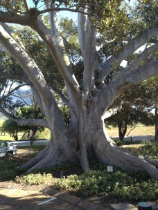 The famous fig tree.