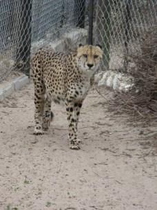 Cheetah #1. He's blind in one eye.