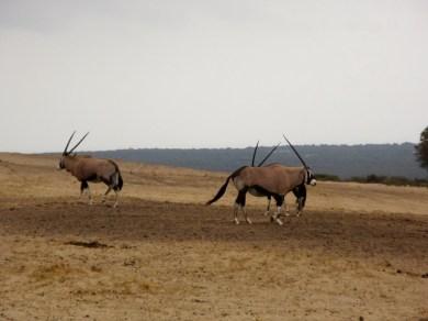 Cimmitar-horned oryxes. Very impressive horns.