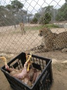 Cheetahs waiting patiently for their chicken.