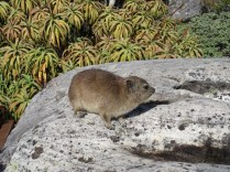 Dassie! This is the closest living relative to the elephant (look at the feet).