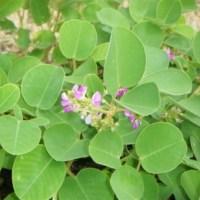 Jak wyglądają i gdzie rosną słynne zioła na kamienie nerkowe Shilintong Pian?