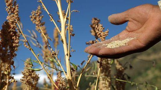 Ventas de quinua peruana a Estados Unidos crecieron en 239%