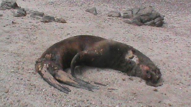 Sea lions and whales beaching in Piura beaches continue